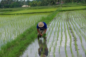 rice-fields-bali-indonesia+1152_12943513651-tpfil02aw-23643