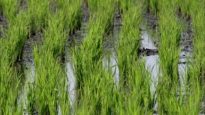 809518614-paddy-field-cultivation-of-rice-bali-row